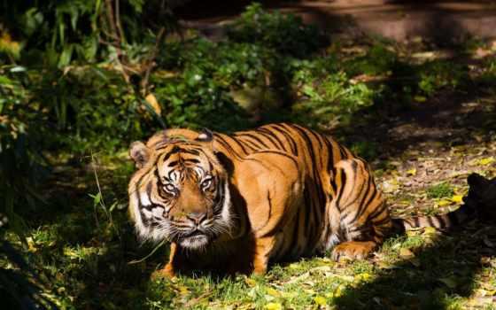 красивые, мар, тигр