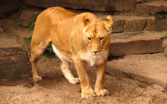 lion, free, high