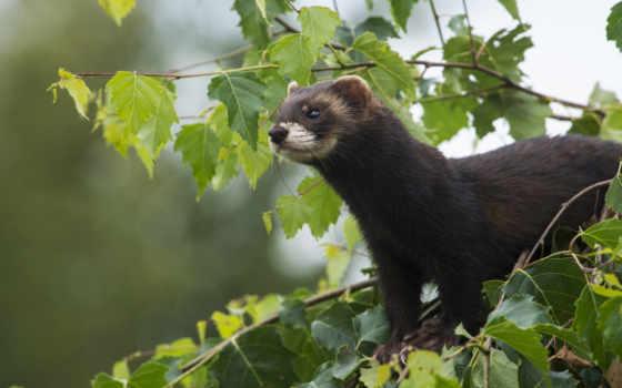 хорек, small, animal, animals, zhivotnye, otter, дерево, пушистый,