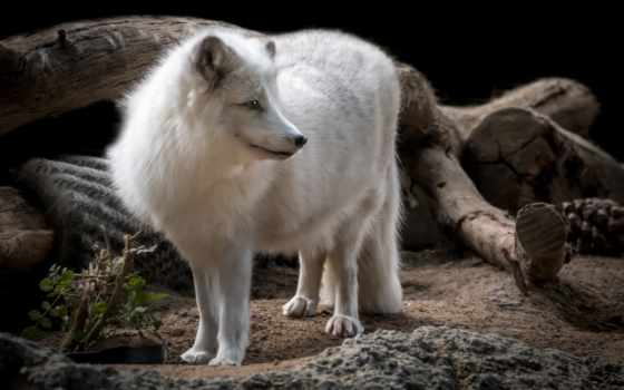 arctic, фокс, собака, canon, animal, tags, arcticfox, bokeh, alopexlagopus, dmarkiii,