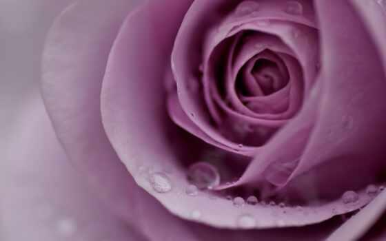 цветы, роза, makryi, drop, лепесток, water, сиреневый, розовый, роса, нежность, бутон