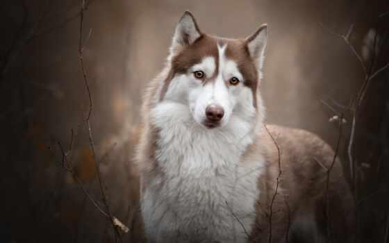 собака, pet, branch, cute, animal, хаски, группа, порода, щенок, хаска