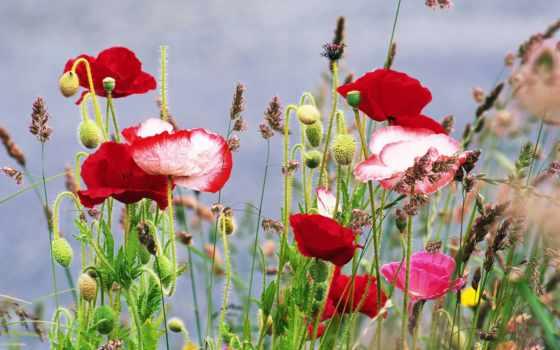 цветы, лето, маки, трава,