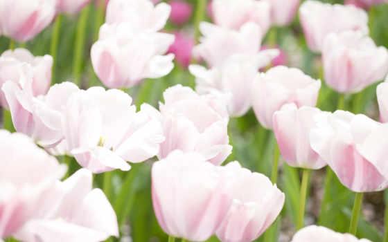 тюльпаны, нежные, cvety
