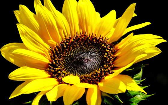 цветы, подсолнух, fone