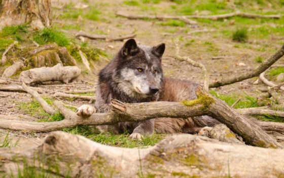 , волк, лес, хищник, скрипка, морда,