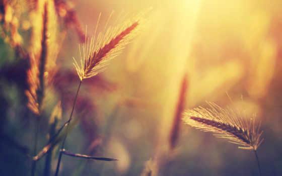 sun, колоски, блики, свет, размытость, трава, растение, природа,