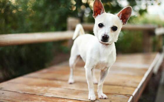 собака, animal, бультерьер, фокс, ошейник, добавить, порода, щенок, bandan