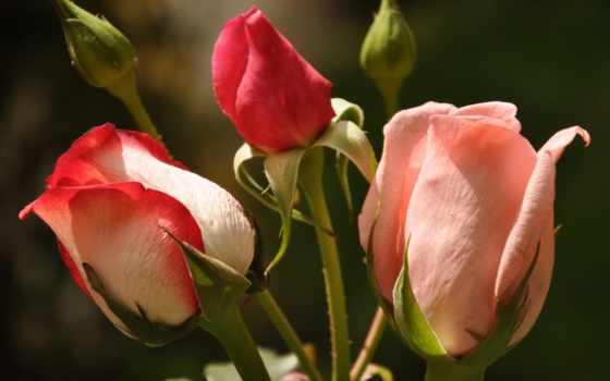 розовые бутоны роз