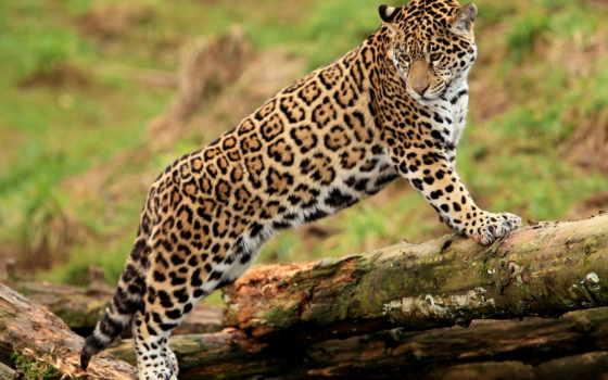panthera, onca, jaguar, взгляд, panther, глаза,