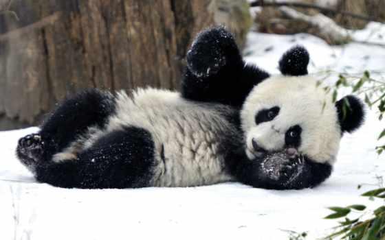 панда, zhivotnye, ми, haustiere, панды, медведь, zima, bambus, bär,
