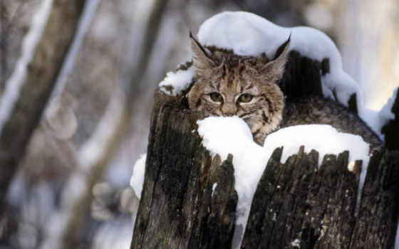 bobcat, cat