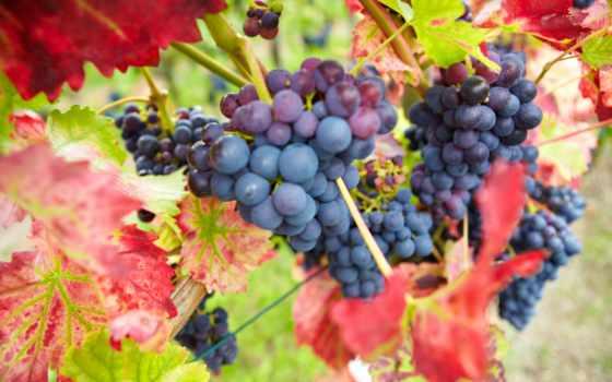 виноград, ягоды, листья, grapes, красные, бордовые, природа, осень, грозди,