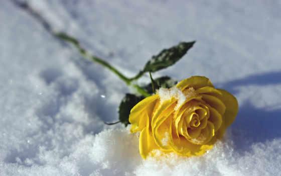 роза, unique, природа