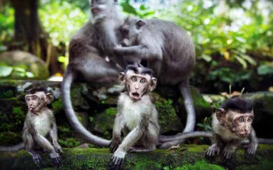 обезьяна, animals, monkeys, are, desktop,