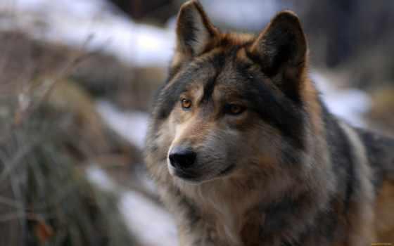zhivotnye, волк, хищник, волки, лес, койоты, шакалы,