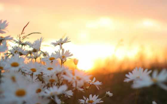 cvety, природа, ромашки,