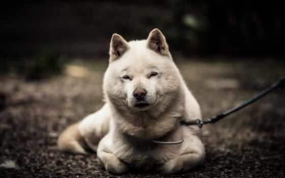 собака, hokkaido, фото, порода, getty