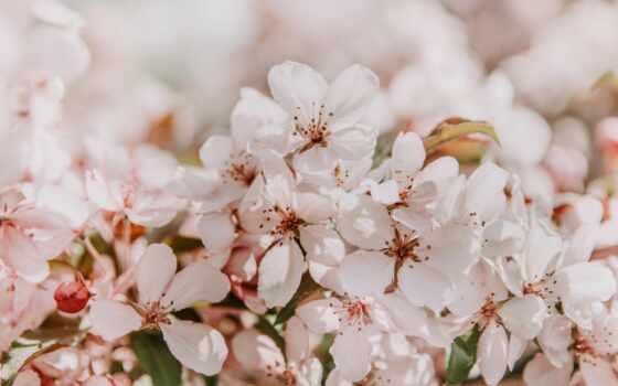 сакур, цветы, весна, цветет, розовый, заставка, свет, gentle, branch