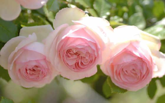 розы, нежность