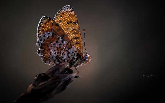 макро, бабочка, капли