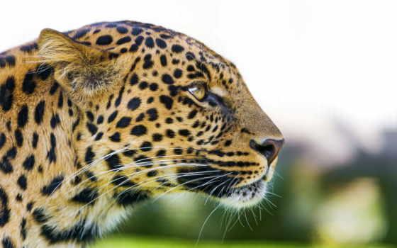 леопард, хищник, морда, profile, взгляд, panthera, pardus,