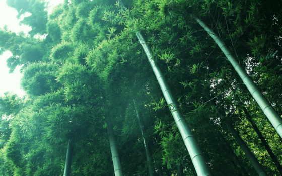 бамбук, стебли, browse, кроны, зелёный,
