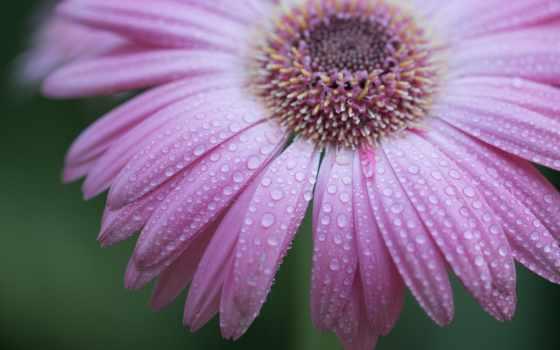 , капли, роса, лепестки, iris