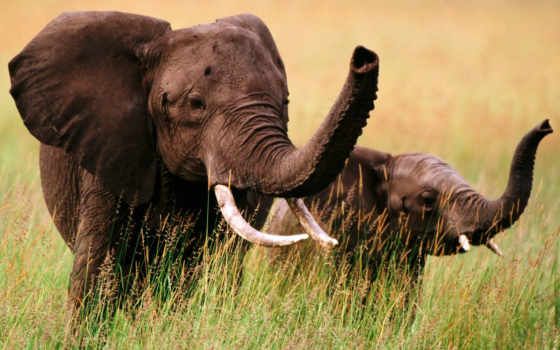 слон, african, слонов
