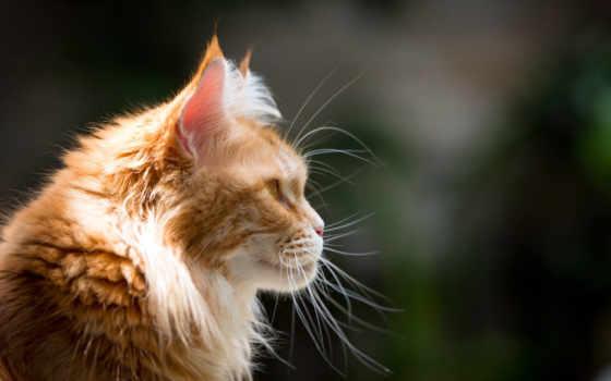 кот, red, морда