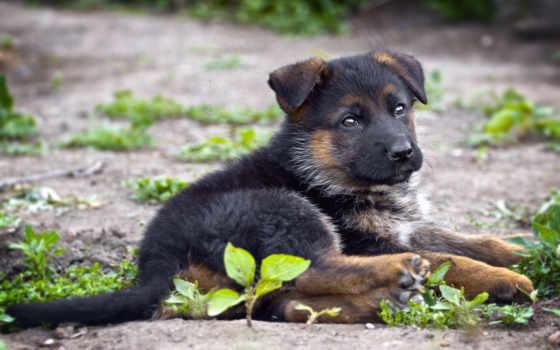 немецкая, овчарка, собака, друг,