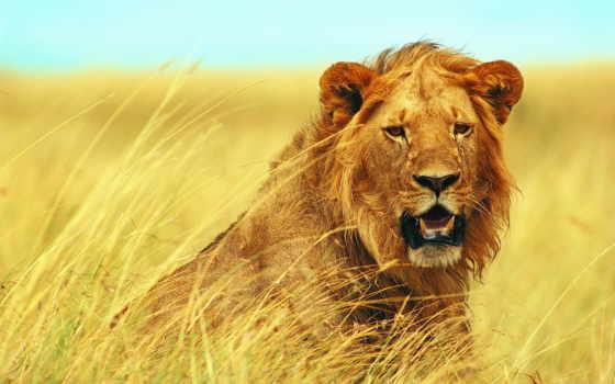 lion, морда, грива, взгляд, panthera, молодой, лео, ветер, страница, саванна,