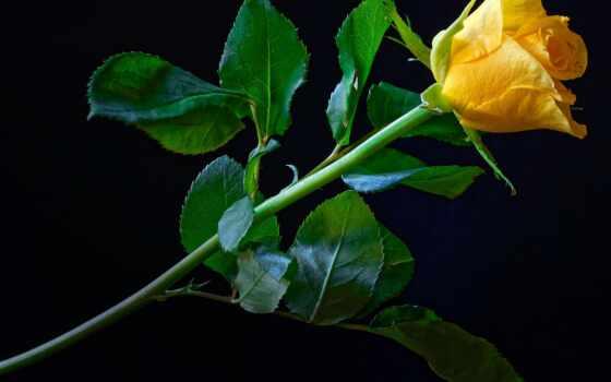 роза, цветы, чёрн, фон, zheltai, black, yellow, близко, лепесток, лист