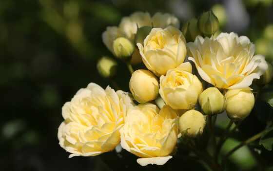 цветы, взлёт, bush, summer, роза, yellow, dark, branch, garden, black, бутон