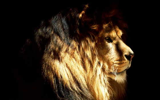 lion, profile