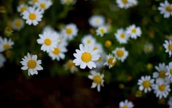 ромашки, dan, дарьи, цветы, dengan, rp, kuadrat, ди, layang,
