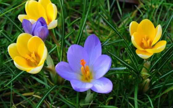 весна, крокусы, frases