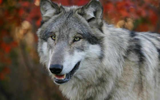 волк Фон № 86662 разрешение 1920x1080