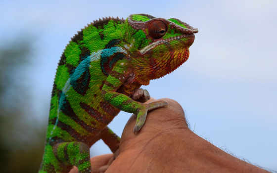 ,хамелеон, зеленый,рука, лапки,