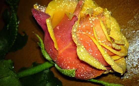 цветы, розы, роз