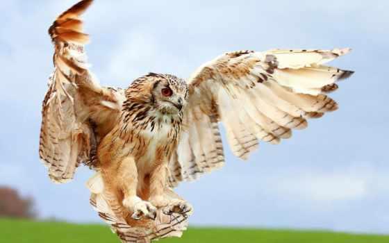 совы, сова, полете