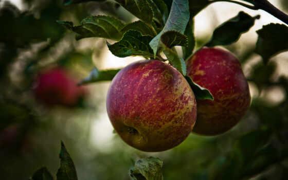apple, branch, лист, дерево, природа, осень, árbol, manzana,