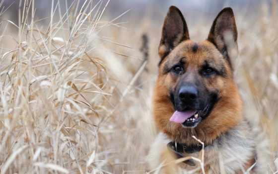 овчарка, трава