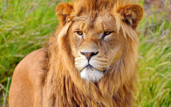 lion, взгляд, грива