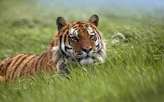 кошки, дикие, тигры