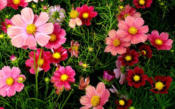 flowers, розовый, cosmos, desktop,