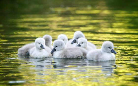 утка, images, baby, ducks, desktop, pictures,