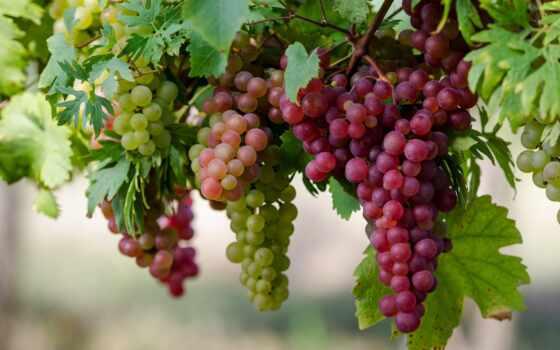 магазин, виноград, интернет, garden, imarket, доставка