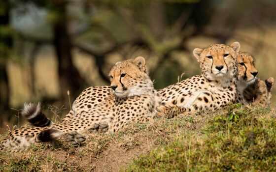 леопард, puzzle, биг, кот, free, animal