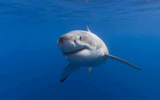 white, акула, great